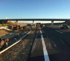 Accidente en la Autovía A66, vuelco de un camión con ganado que corta la carretera