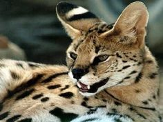 Did you know the serval is family of the african goldcat and the caracal?