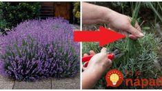 Správny spôsob, ako v júni strihať kvety levandule: Spravte to presne takto a bude krásna a bohatá aj o rok! Flora, Garden, Ale, Plants, Decor, Gardens, Garten, Decoration, Lawn And Garden