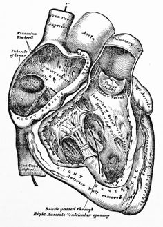 Depth and contrast b & w illustration project/ Human Heart Antique Illustrations - Socialphy
