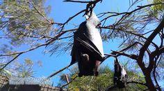 ABC #megabats falling asleep in the sun #flyingfox #fruitBat