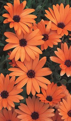 Orange Symphony has an unusual orange bloom with a brilliant purple center. Beautiful blooms in spring or fall.                                                                                                                                                                                 More