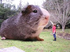 biggest guinea pig in the world - Google Search