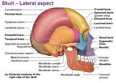 2012 pearson education, inc figure 7 3c the adult skull temporalskull lateral aspect anatomy www anatomynote com