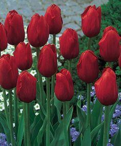 Tulip Kingsblood - Single Late - Tulips - Flower Bulbs Index