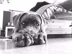 Luna puppy cane corso