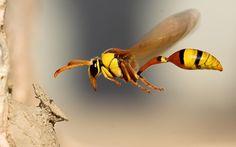 Combatir el cáncer con el veneno de una avispa | Por: @linternista - http://medicinapreventiva.info/ciencia-y-tecnologia/21626/combatir-el-cancer-con-el-veneno-de-una-avispa-por-linternista/ - El veneno de una avispa brasileña contiene una sustancia que atacaría a las células cancerosas selectivamente sin afectar a las células normales. Cuando los depredadores atacan a la avispa 'Polybia paulista' esta se protege mediante la producción de veneno que se sabe que contien