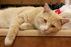 Hoss is an adoptable Tabby - Buff Cat in New Rochelle, NY. Handsome? Check! Friendly? Check! Affectionate? Check! Super soft coat? Check! We can go on, but you get the picture - this cat is a real cat...