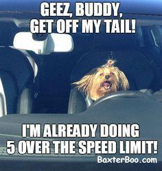 Tailgate traffic, funny yorkie