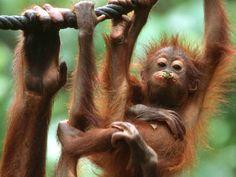 Baby Orangutan at Sepilok Orangutan Sanctuary, Sabah, Malaysia