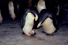 Pair of Emperor Penguins about to exchange their egg. Captive birds. SeaWorld. San Diego. USA: Frank Todd: Arctic & Antarctic photographs, pictures & images from Bryan & Cherry Alexander Photography.