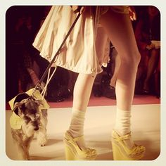 Mini Schnauzer on the runway