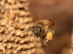 Una laboriosa #ape operaia riporta il #polline accumulato nella cestella all'#alveare.  Osserva da vicino questo mini mega #mondo al #MMape!