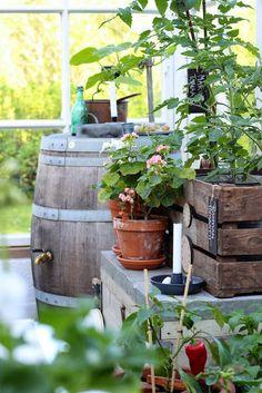 Pikkutalon elämää: Tomaatit kasvihuoneessa