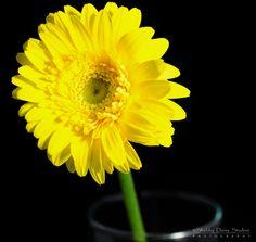 Yellow Gerbera Daisy in Studio
