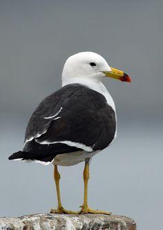 "Belcher's Gull (Larus belcheri) Beeping Gull They say,""Beep! Beep!"" Beepers"