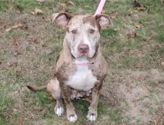 Are you looking for a great cuddler who gives lots of kisses? Well then I'm the dog for you! Hi! My names Rosie and I am a 2-year-old Catahoula Mix. I weigh about 57 pounds. I am house trained, crate trained, and I walk very well on a leash! And if you let me, I will cuddle with you 24/7. I can't wait to meet my furever family! Apply for me today!