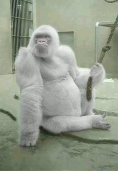 """"""" Snowflake"""" only known albino gorilla lives in zoo in Spain"""
