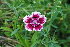 Rainbow Pinks (dianthus chinensis): Dianthus chinensis (China pink; Chinese: 石竹 shi zhu) is a species of Dianthus native to northern China, Korea, Mongolia, and southeastern Russia.  It is a herbaceous perennial plant growing to 30–50 cm tall. The leaves are green to greyish green, slender, 3–5 cm long and 2–4 mm broad. The flowers are white, pink, or red, 3–4 cm diameter, produced singly or in small clusters from spring to mid summer.  It is widely cultivated as an ornamental plant, both in…