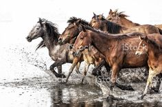 Herd of Wild Horses Running in Water royalty-free stock photo