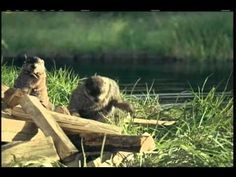Geico Woodchuck Commercial