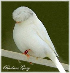 White Gloster Canary