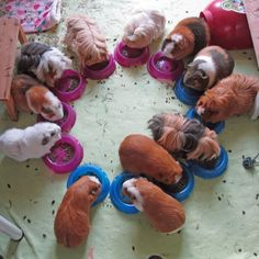 The Guinea Pig Daily: The Tribe