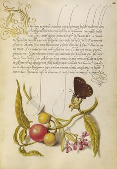 Ringlet, False Jerusalem Cherry, and Milkwort, Joris Hoefnagel illuminator, Mira calligraphiae monumenta 86.MV.527.