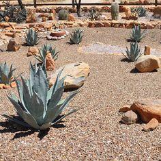 Our desert landscape... (Brought to you by Bruce's hard work) #desertliving #desertlivin #southwest #southweststyle #agave #agaves #tequila  #desertlandscape #desertlandscapes #cactus #cactuslover by aandbdesignstudio March 28 2016 at 07:33AM