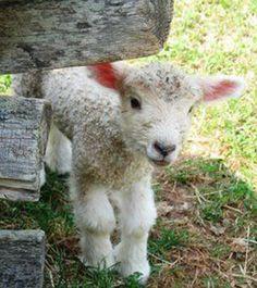 Lampe ~ Lamb