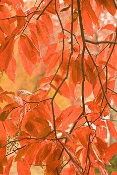 Sourwood Tree at Autumn, B & B Asheville NC. Sourwood Inn  810 Elk Mountain Scenic Hwy.  Asheville, North Carolina 28804  http://sourwoodinn.net/  828-255-0690