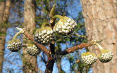 Buds  on Edgeworthia Chrysantha