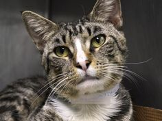 Safe8-23-2015 Brooklyn BUSTER - A1046912 - - Brooklyn This is a darn- near as perfect a cat as you'll find! 1 year and 6 months old, BUSTER was brought in as a STRAY but he doesn't act like your typical STRAY cat! He seems like he may have been someone's pet at one point. BUSTER is loving the attention from the assessor. And interacting so much, that he's earned a TERRIFIC BEGINNER rating! You can't get any better than him! PLEASE don&