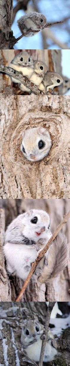 Japanese Dwarf Flying Squirrels