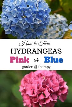 Pretty Pink or Brilliant Blue: How to Make Your Hydrangea Change Color. Love your hydrangea blooms but want to change up their color? How to change bloom color by amending the soil. #gardentherapy #hydrangeas