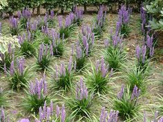Liriope muscari schaduw plant!!! blijft groen verkrijgbaar bij tuinplanten kwekerij Www.buxuskoning.nl