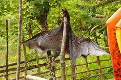 Hunting of Blyth's Flying Fox in Andaman Islands Andaman Islands, Fruit Bat, Conservation, Giraffe, Hunting, Fox, Birds, Animals, Animales