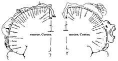 el-homunculo-de-penfield. Donde se manifiesta la importancia radical de rostro y mano en la hominización.