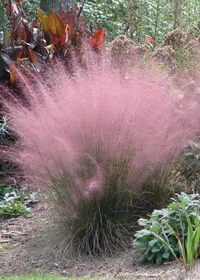 Muhlenbergia capillaris I don't have this type of grass, but I DO have a grass garden with many different types of grasses! This one is beautiful! I'll have to check into it!