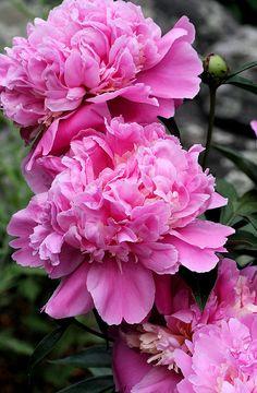 deep pink peonies