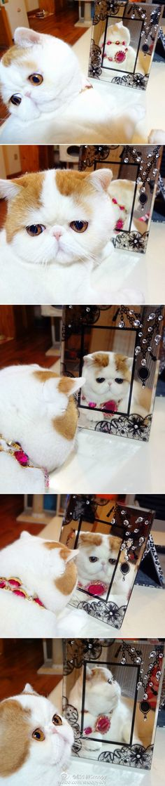 I wanna name this exotic short hair , Garfield. weibo.com/snoopy409