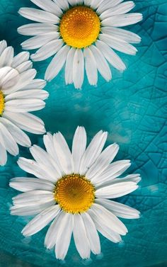 56 Ideas Wallpaper Flores Margaridas For 2019 Turquoise Wallpaper, Daisy Wallpaper, Turquoise Background, Nature Wallpaper, Flowers Background, Background Pictures, Cellphone Wallpaper, Iphone Wallpaper, Phone Backgrounds