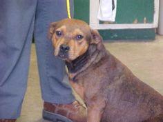 Petfinder  Adoptable | Dog | Pit Bull Terrier | Jacksonville, IL | Lauri