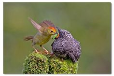 Foster parent in different bird species.  An oriental cuckoo being raised by a red-headed tree babbler.