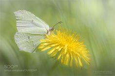 Zitronenfalter by FriedrichBeren. @go4fotos