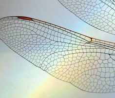 Amazing Photographs of Fractals in Nature - Dragonfly wings ♥ Fractal Geometry, Fractal Art, Sacred Geometry, Nature Geometry, Geometric Nature, Patterns In Nature, Textures Patterns, Fractal Patterns, Nature Pattern
