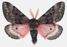 joseph scheer moth
