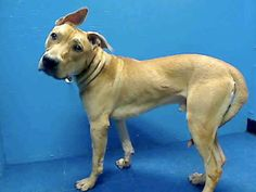"""GONE RIP 6/28/13 Brooklyn HUMPHREY A0968969  MALE TAN PIT BULL MIX 1yr The ppl who supposedly had Humphrey for 2wks said that """"Overall he's a good dog but he wasn't trained properly so he's a bit of a hand full"""" They didn't have the patience or inclination to do that, so they dropped him off to die!. Humphrey earned a New Hope rating w/ meaningless scores that are all over the place. Humphrey is the very definition of innocence, & he'll die tomorrow unless a rescue saves his life tonite"""