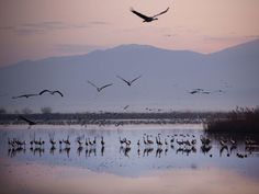 Migrating cranes flock at the Hula Lake conservation area north of the Sea of Galilee in northern Israel. More than half a billion birds of some 400 different species pass through the Jordan Valley to Africa and back to Europe during the year.  Oded Balilty, AP