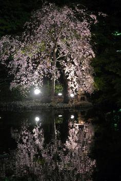 #cherry blossoms, #pond, #lanterns, #Illuminated, #night,